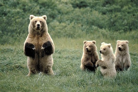 Image result for Mama bears with cubs