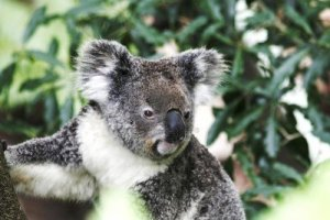 4229795-koala-bear-sitting-on-eucalyptus-tree-australia