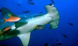 amazing-hammerhead-shark02